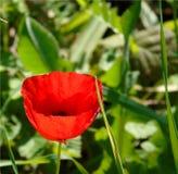 Обои с крупным планом красного цветка мака на зеленой предпосылке луга стоковые изображения