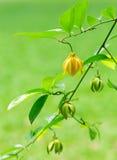 Обои цветка hexapetalus Artabotrys, желтый цветок Bhanda Стоковые Изображения RF