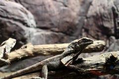 Оборк-necked ящерица на дереве Стоковая Фотография RF