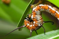 оборона гусеницы Стоковое Фото