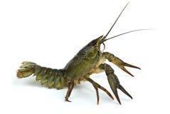 оборонительная позиция crawfish стоковые изображения