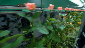 Оборудование фабрики транспортируя длинные цветки стержня видеоматериал