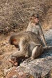 обочина macaque холить семьи bonnet Стоковая Фотография