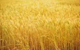 Обрабатываемая земля пшеничного поля Стоковые Фотографии RF