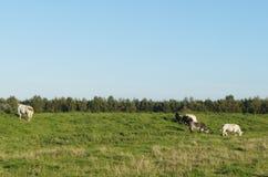 Обрабатываемая земля с коровами в Нидерландах Стоковые Фотографии RF