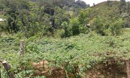 Обрабатываемые земли Crope в Ambegoda Стоковые Фото