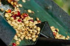 Обрабатываемые кофейные зерна Стоковое Изображение RF