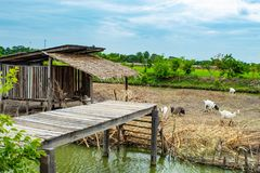 Обрабатывайте землю свиньи и козы мочат surrounds независимый тип стоковые фото