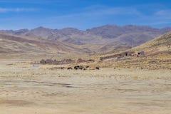 Обрабатывайте землю и коровы в горах Анд, Перу Стоковая Фотография