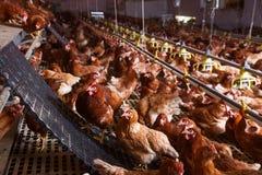 Обрабатывайте землю цыпленок в амбаре, выпивающ, ел и кладущ яичка стоковое фото