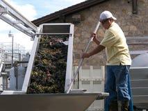 Обрабатывать виноградины для того чтобы wine стоковое изображение