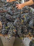 Обрабатывать виноградины в вино стоковые фотографии rf