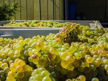 Обрабатывать виноградины в вино стоковое фото rf