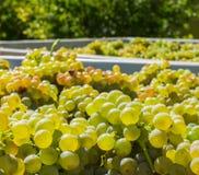 Обрабатывать виноградины в вино стоковое изображение