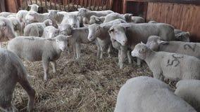 Обрабатывать землю интерьер овец сток-видео