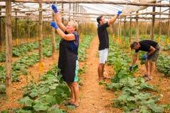 Обрабатывать землю, садовничать, земледелие и семья концепции людей жать огурец на парнике стоковая фотография