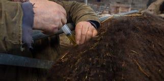 Обрабатывать землю впрыскивающ больную корову с вакциной стоковые изображения rf