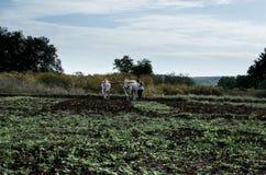 Обрабатывая землю и паша поле с волами Стоковое Фото