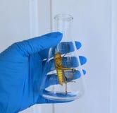 Образец кузнечика в склянке лаборатории Стоковые Изображения