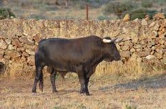Образец породы быка испанского свободного ряда воюя на обширном Стоковые Фото