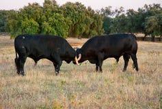 Образец породы быка испанского свободного ряда воюя на обширном Стоковая Фотография