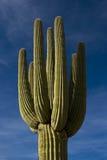 образец saguaro кактуса Стоковое фото RF
