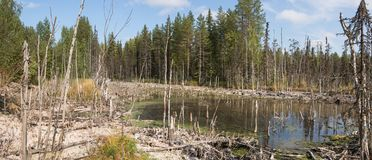 Образование трясин mesotrophic в taiga климатической зоны, лес-тундре региона Архангельск стоковое изображение