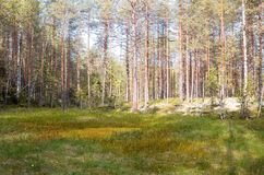 Образование трясин oligotrophic в taiga климатической зоны, лес-тундре зоны Архангельска стоковые изображения rf