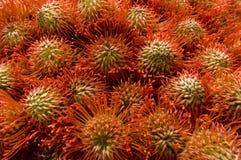 образованный крупный план цветет pincushion совместно Стоковые Изображения RF