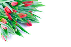 образуйте красные тюльпаны Стоковая Фотография RF