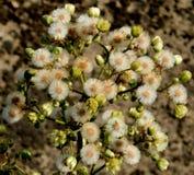 образуйте цветки белые Стоковое Изображение RF