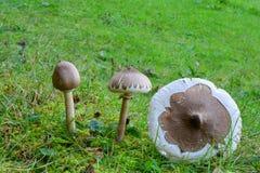 3 образца худенького гриба парасоля Стоковые Фото