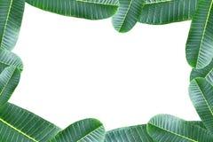 Обрамите зеленые лист plumeria изолированные на белой предпосылке Стоковые Фотографии RF