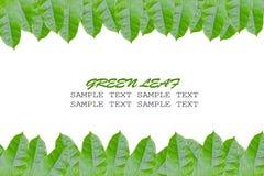 обрамляя листья зеленого цвета Стоковое фото RF