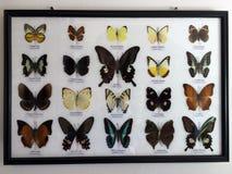Обрамленные бабочки, собрание Стоковые Изображения