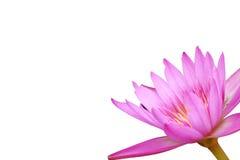 Обрамляя пинк цветка лотоса Стоковое фото RF