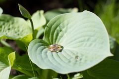 Обручальные кольца на лист подорожника травы стоковые фото