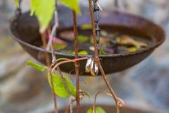 Обручальные кольца вися на ветви виноградин Стоковое Фото