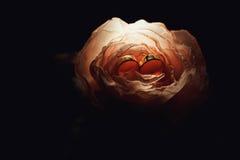 Обручальные кольца в подняли на темную предпосылку Стоковое Фото