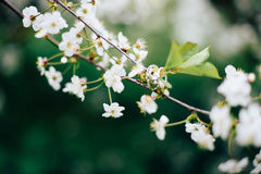 Обручальные кольца на ветви вишневого цвета Стоковое Изображение