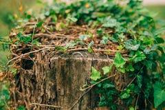 Обручальные кольца на пне Стоковое Фото