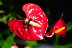 Обручальные кольца на pistil красного цвета цветка Стоковое Изображение