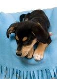 обруч голубой собаки шикарный Стоковые Фотографии RF