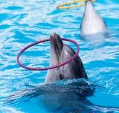 Обруч дельфина закручивая в бассейне Стоковое фото RF