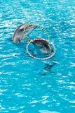 Обруч дельфина закручивая в бассейне Стоковая Фотография RF