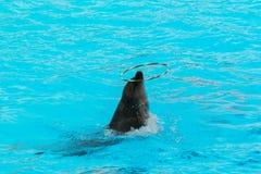 Обруч дельфина закручивая в бассейне Стоковые Фото