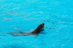 Обруч дельфина закручивая в бассейне Стоковые Фотографии RF