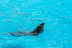 Обруч дельфина закручивая в бассейне Стоковое Изображение RF