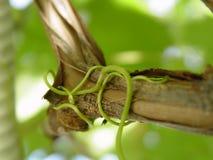обруч tendril grapewine Стоковая Фотография
