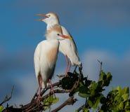 Обсуждение между ответными частями Egret скотин стоковые изображения rf